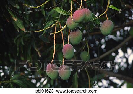 芒果, 树, 夏威夷