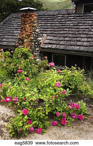 banque de photographies - roses, fleur, devant, a, californie
