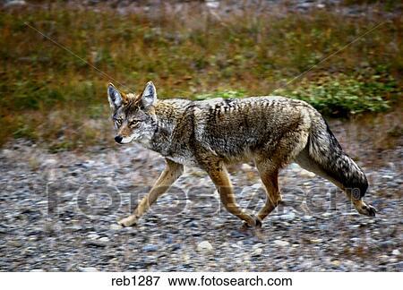 image alerte trot coyote reb1287 recherchez des photos des images des photographies et. Black Bedroom Furniture Sets. Home Design Ideas
