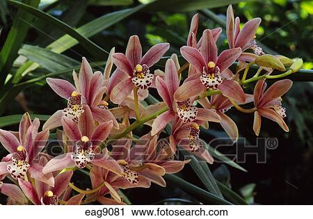 stock fotografie rostiges rot cymbidium orchideen. Black Bedroom Furniture Sets. Home Design Ideas