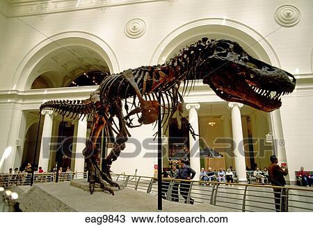 Stock Photo - The TYRANNOSAURUS  Tyrannosaurus rex  SKELETON of SUE is    Tyrannosaurus Skeleton In Museum