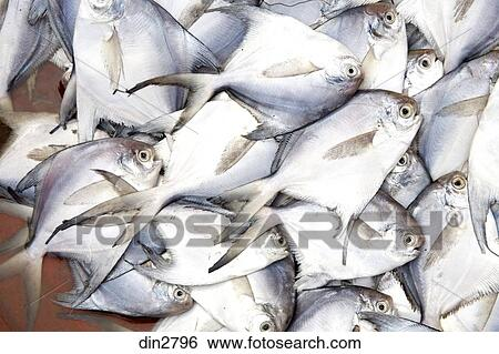 pomfret fish india