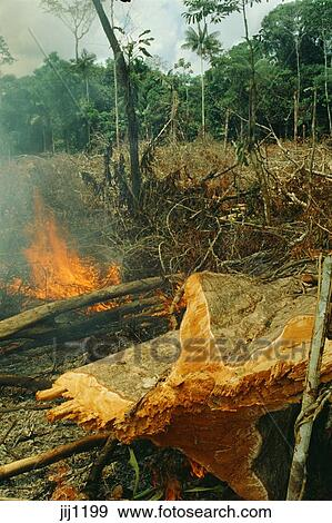 Stock Photograph of Slash-and-burn agriculture: forest ...