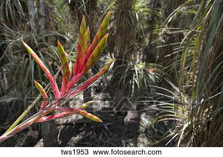 stock photo   a wild pine or quill leaf air plant flowers in bald cypress grove stock photo of a wild pine or quill leaf air plant flowers in bald      rh   fotosearch