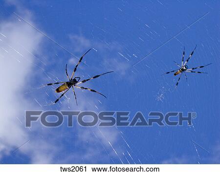 Stock fotografie gouden zijde spinnen wachten in web voor maaltijd op tropisch eiland - Eiland maaltijd ...