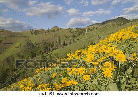 banques de photographies a coteau de jaune mule 39 s ear 39 s fleurs dans les sierra. Black Bedroom Furniture Sets. Home Design Ideas