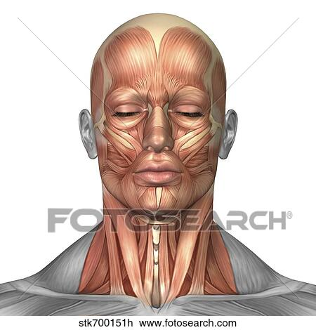 Clip Art Of Anatomy Of Human Face And Neck Muscles Front View