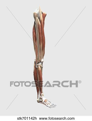 Clip Art Of Medical Illustration Of Human Leg Muscles Bones And