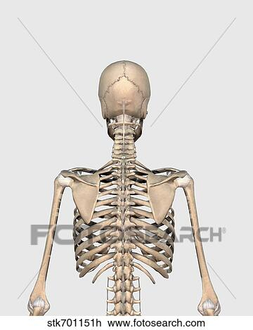 clip art of rear view of human skeletal system showing upper back, Skeleton