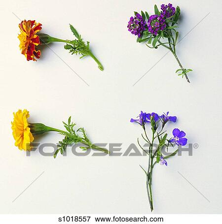 Immagine floreale fiore calendola nemesia pianta - Verbena pianta ...