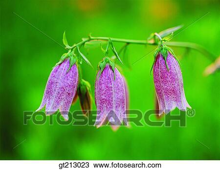 Banque de photo le campanule fleur ext rieur for Exterieur jour