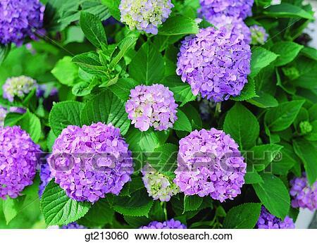 banques de photographies hortensia hortensia fleur printemps fleur ext rieur ext rieur. Black Bedroom Furniture Sets. Home Design Ideas