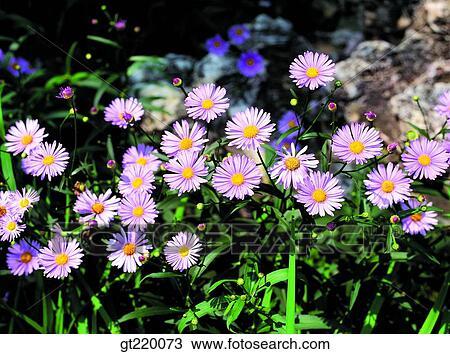 Archivio fotografico corea aster koraiensis taeback - Aster pianta ...