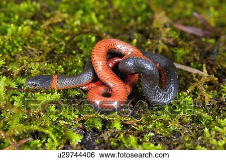 Archivio di immagini serpente u29744406 cerca archivi for Serpente nero italiano