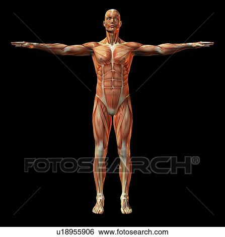 Stock Images Of Human Muscle Structure Artwork U18955906 Search