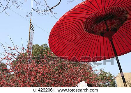 banques de photographies parapluie rouge et japonaise coing arbre kanmuri inari. Black Bedroom Furniture Sets. Home Design Ideas