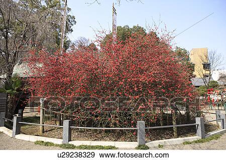 banque de photographies japonaise coing arbre fleurir u29238329 recherchez des photos. Black Bedroom Furniture Sets. Home Design Ideas