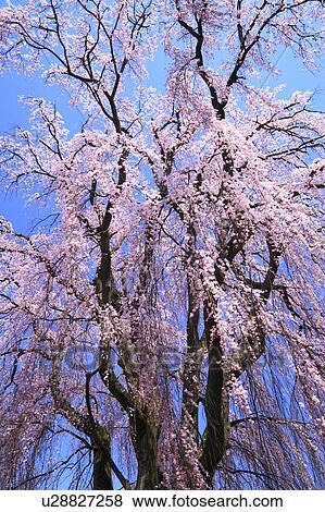 泣, 日语, 樱桃树图片