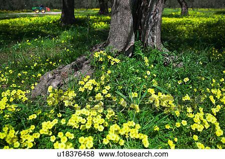 Immagini boschetto olivastro con moquette di giallo - Soleggiato in inglese ...