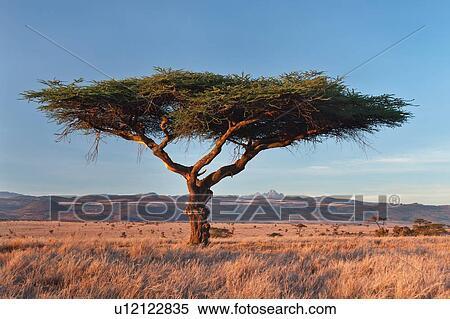 Stock afbeelding acacia tree in gouden zonsopkomst licht op prairie van lewa - Poster muurschildering paysage ...