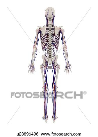 Stock Images Of Human Anatomy Computer Artwork Showing The Bones