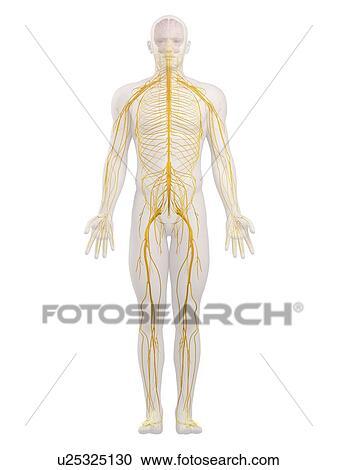 Stock Photography Of Human Nervous System Computer Artwork
