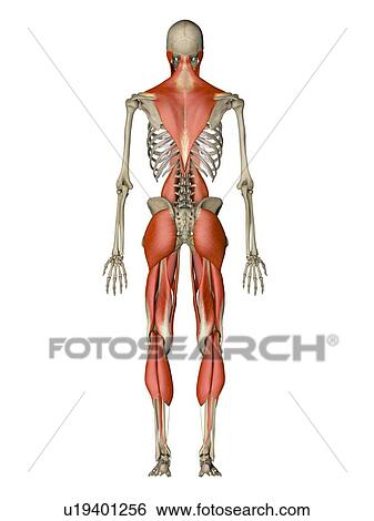 voluntary muscle stock photo images. 88 voluntary muscle royalty, Human Body