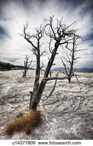 Stock fotografie de mammoet hete lentes kanarie lente dode boom