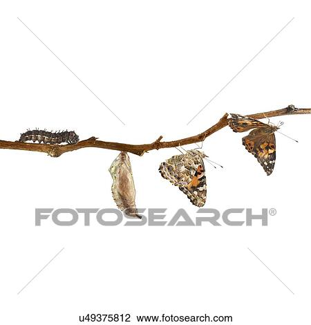 Stock Photo of Painted lady butterfly life cycle u49375812 ...