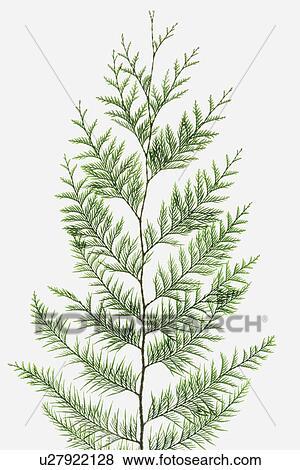 Fotos cedro rojo occidental rama de rbol con verde for Ver fotos de arboles de hoja perenne