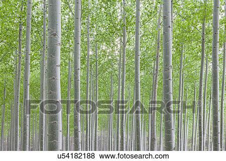 Resim kavak ağacı fidanlik ağaç kreşi büyüyen uzun boylu