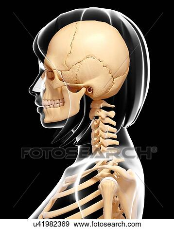 Stock Illustration Of Human Skull And Neck Bones Artwork U41982369