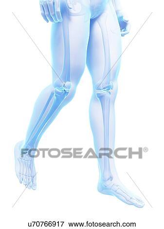 Stock Illustration Of Human Leg Bones Illustration U70766917