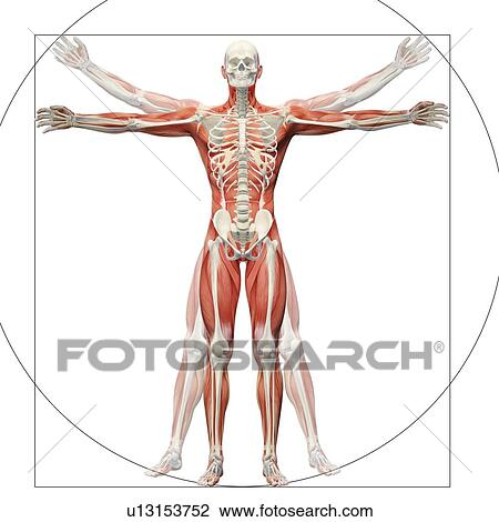 Clip Art Of Human Musculoskeletal System Artwork U13153752 Search