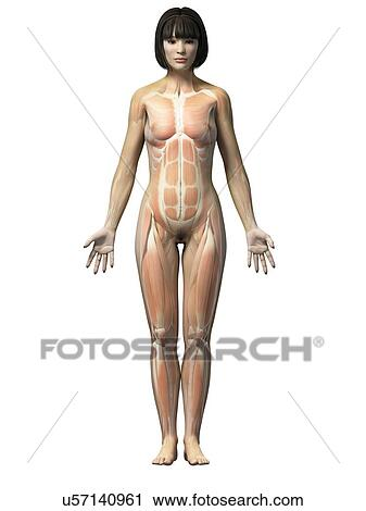 Clipart Of Female Muscular System Illustration U57140961 Search
