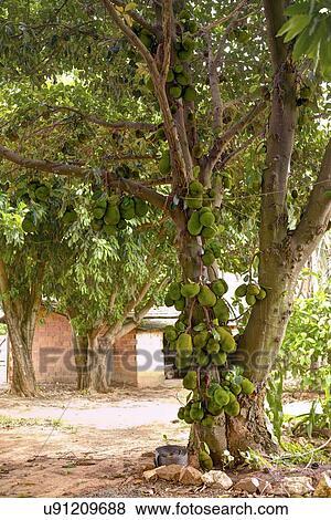 Immagini jackfruit albero con frutta crescente for Albero fico prezzo