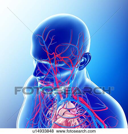 Pictures Of Male Head And Chest Blood Vessels U14933848 Search
