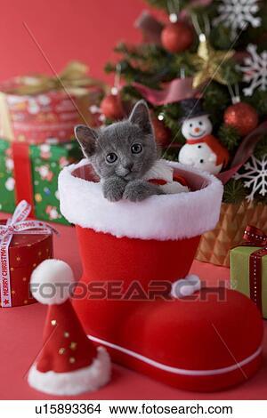 stock foto russische blau katzenbaby und weihnachten u15893364 suche stockbilder. Black Bedroom Furniture Sets. Home Design Ideas