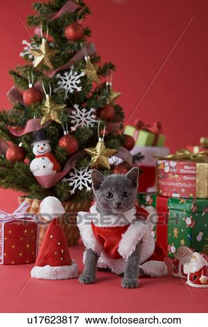 bild russische blau katzenbaby und weihnachten u17623817 suche stockfotografie fotos. Black Bedroom Furniture Sets. Home Design Ideas
