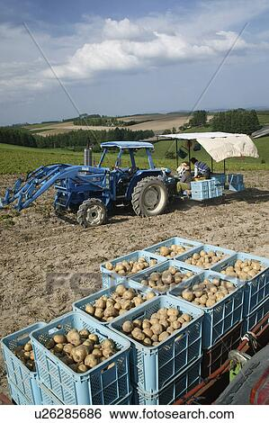 Archivio di immagini coltivatori raccolta patate for Raccolta patate
