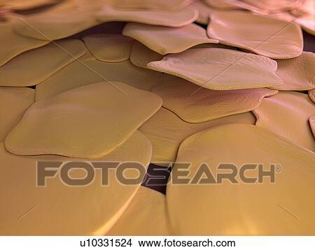 手绘图 - 人类皮肤, 细胞