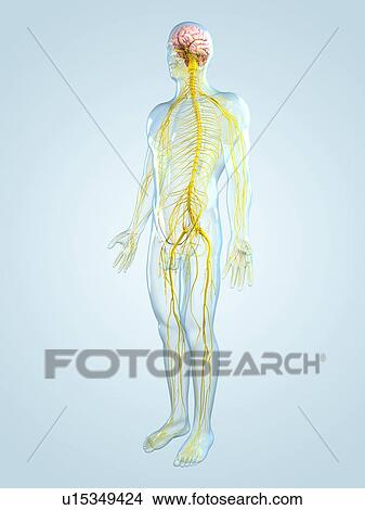 drawings of nervous system artwork u15349424 search
