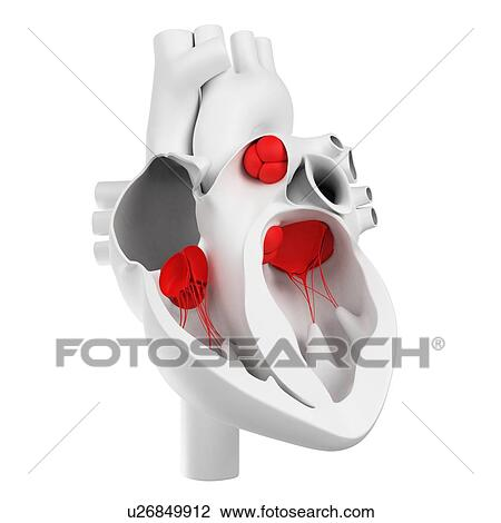 Clip art herz ventile kunstwerk u26849912 suche for Boden 3 ventrikel