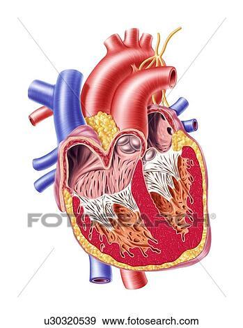 Stock illustraties menselijk hart kunstwerk u30320539 for Clipart cuore