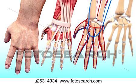 Drawings Of Human Hand Anatomy Artwork U26314934 Search Clip Art