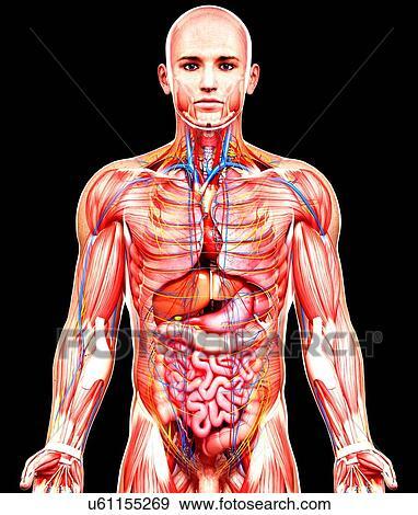 Male anatomy illustration