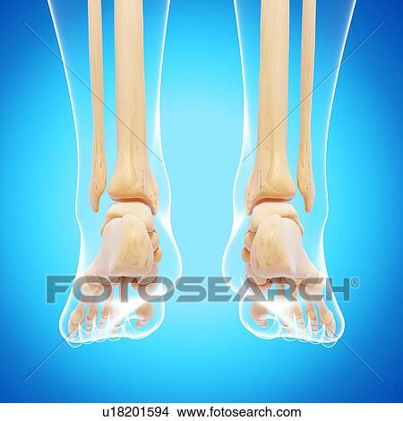Drawings Of Human Leg Bones Artwork U18201594 Search Clip Art
