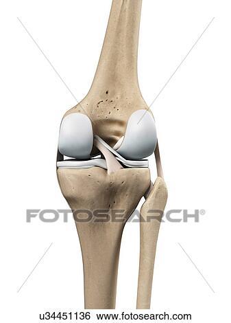 Stock Illustration Of Knee Anatomy Artwork U34451136 Search Clip