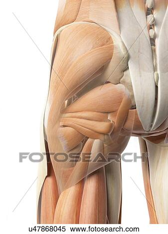Stock Illustration Of Human Hip Muscles Artwork U47868045 Search