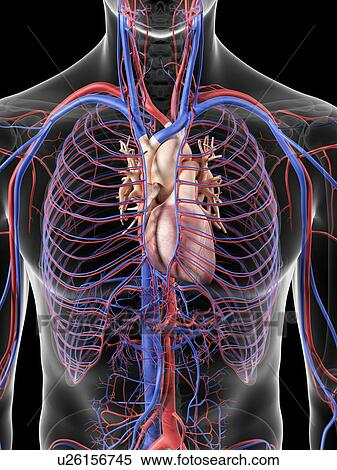 stock illustration of heart and blood vessels artwork